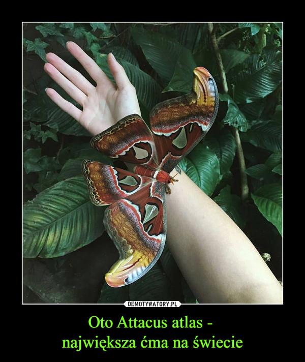 Oto Attacus atlas - największa ćma na świecie –