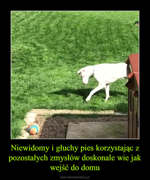 Niewidomy i głuchy pies korzystając z pozostałych zmysłów doskonale wie jak wejść do domu –