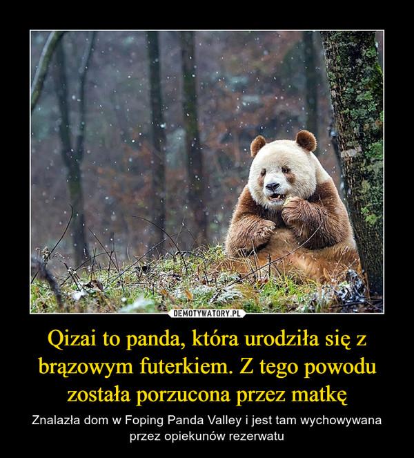 Qizai to panda, która urodziła się z brązowym futerkiem. Z tego powodu została porzucona przez matkę – Znalazła dom w Foping Panda Valley i jest tam wychowywana przez opiekunów rezerwatu
