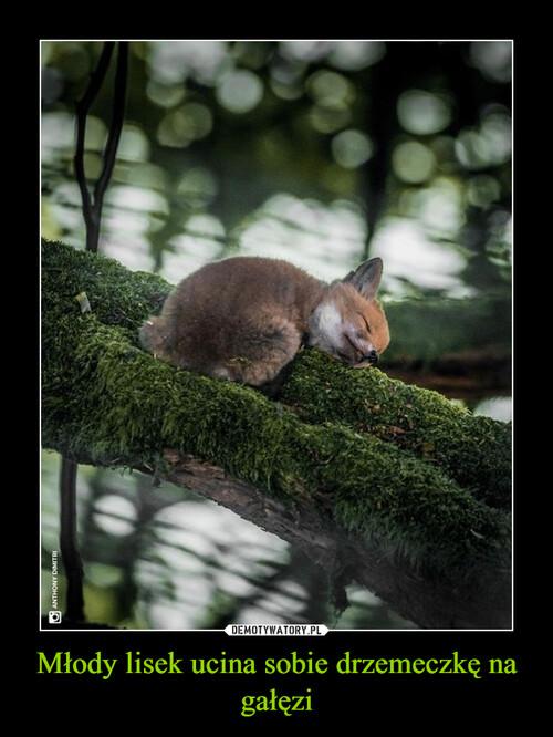 Młody lisek ucina sobie drzemeczkę na gałęzi