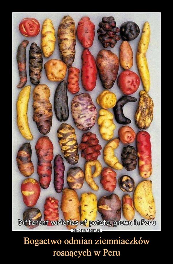 Bogactwo odmian ziemniaczków rosnących w Peru –